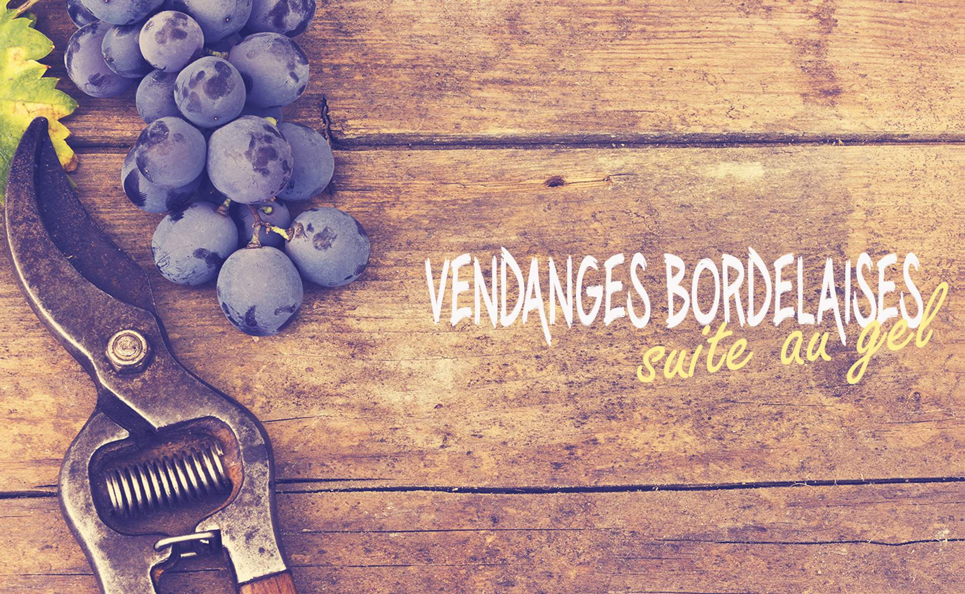 Vendanges dans le bordelais suite au gel
